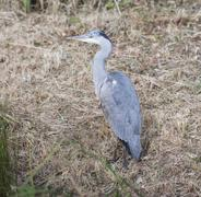 Beautiful grey heron Ardea Cinerea on riverbank Stock Photos