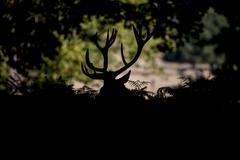 Red deer stag cervus elaphus taking a rest during rut season in Autumn Fall f Kuvituskuvat