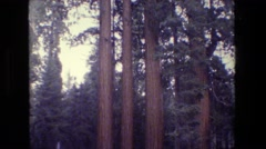 1984: tall trees with green leaves at the very top CALIFORNIA Stock Footage