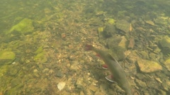 Brook Trout Stock Footage