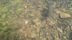 A wild brook trout swimming in clear water in a river. Underwater shot Stock Footage