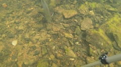 Wild Brook Trout Stock Footage