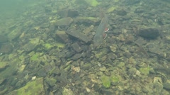 Large Brook Trout Stock Footage