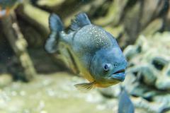 Closeup of a tropical piranha fish underwater in aquarium environment Kuvituskuvat