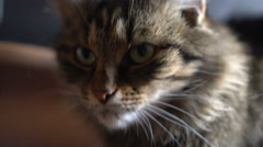 Portrait of a domestic cat Stock Footage