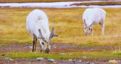 Reindeers eats grass at the plains at Svalbard Stock Footage