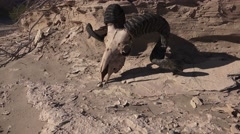 Rams longhorn sheep on desert soil, life and death Stock Footage