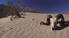 Rams longhorn sheep on desert soil, sand ripples Stock Footage