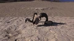 Rams longhorn sheep on desert soil, tilting up Stock Footage