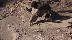 Rams longhorn sheep on desert soil, tilt up Stock Footage