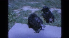 1967: curious puppy supervised exploration IOWA Stock Footage