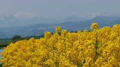 Brassica blossom at Takinoue Stock Footage