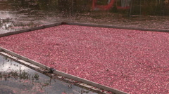 Cranberries floating in bog during autumn harvest season Stock Footage