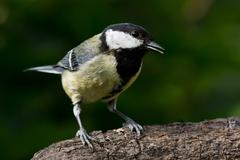 Great Tit on branch Stock Photos