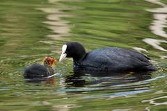 Coot and it's offspring Stock Photos