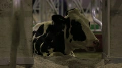 Cows on a farm. Dairy herd. Dairy production. Stock Footage