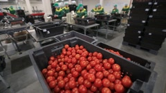 Sorting and packing-harvest tomato Stock Footage