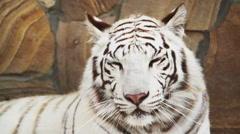 White tiger panting from the heat Stock Footage