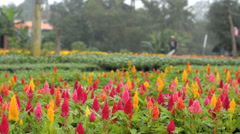 Plumed celosia blooming in garden (Celosia argentea L),  right pan Stock Footage
