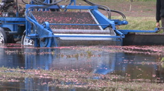 Cranberries being harvested in autumn harvest season on farm Stock Footage