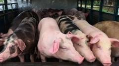 Pigs in the pen, Breeding sows in stalls on modern pig farm Stock Footage