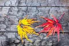 Yellow and red maple leaf on black burnt wood Stock Photos