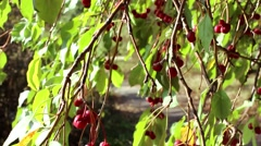 Ranetki red on a tree in autumn Stock Footage