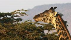 Close up of a feeding giraffe with oloololo escarpment masai mara, kenya Stock Footage