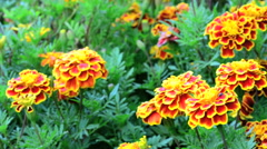 Marigold flower field close up and dolly shot Stock Footage