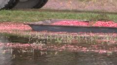 Cranberries in autumn harvest season on farm bog Stock Footage