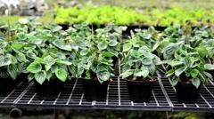 Peperromia emerald ripple in the nursery, Thailand Stock Footage