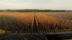 POV view harvester combine cabin 4k high speed video: cropping sunflowers field Stock Footage