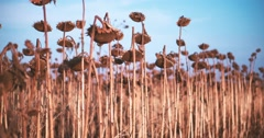 Panorama sunflowers field 4k video. Ripe dried harvest straw. Rural agricultural Stock Footage