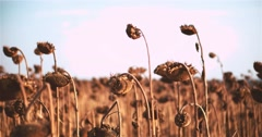 Field ripe dried sunflowers harvest 4k close up POV video. Mature heads seeds Stock Footage
