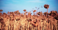 Field ripe sunflowers harvest 4k close up POV high speed video. Mature seeds Stock Footage