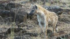Close up of a hyena walking at masai mara national park, kenya Stock Footage