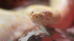 Golden Thai Python (Python bivittatus) snake Stock Footage