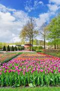 Rows of tulip flowers Stock Photos