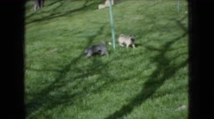 1966: two small dogs playing in the park, investigating a pole OHIO Stock Footage