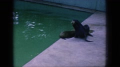 1966: seals at the zoo swimming in pool and waddling in enclosure NEW JERSEY Stock Footage