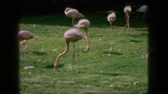 1966: flamingos migratory birds walking grass all over migration season  Stock Footage