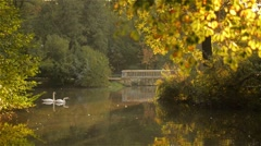 Two white swans swimming in the lake, with autumn forest reflection, at sunset Stock Footage