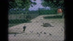 1966: pigeons moving fence around deer looking green environment cars moving Stock Footage