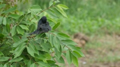 Black drongo cleaning wing on tree Stock Footage