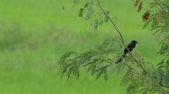 Black drongo on the tree branch in the field Stock Footage