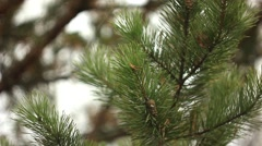 Pine branches in the snow Stock Footage