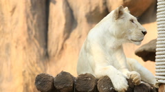 Female white lion resting. Stock Footage