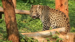 Indochinese Leopard resting. Stock Footage