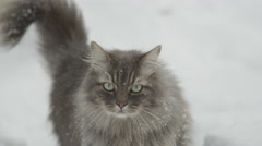 SLOW MOTION, CLOSE UP: Beautiful longhaired cat walking towards the camera Stock Footage