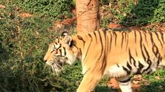 Indochinese Tiger walking around. Stock Footage